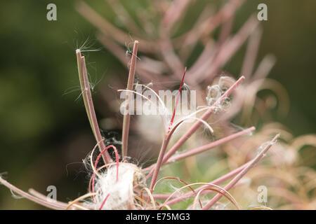 Rosebay Willowherb Epilobium angustifolium Fireweed Bombweed perennial herbaceous plant Onagraceae. - Stock Photo
