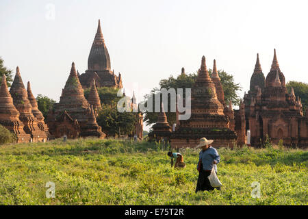 Woman farming in front of a temple complex, stupas or pagodas on the Plateau of Bagan, Mandalay Division, Myanmar - Stock Photo