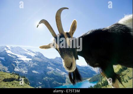 Goat, Oeschinensee Lake, Kandersteg, Bernese Oberland, Canton Bern, Switzerland - Stock Photo