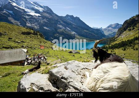 Goat and a mountain inn, Oeschinensee Lake, Kandersteg, Bernese Oberland, Canton Bern, Switzerland - Stock Photo