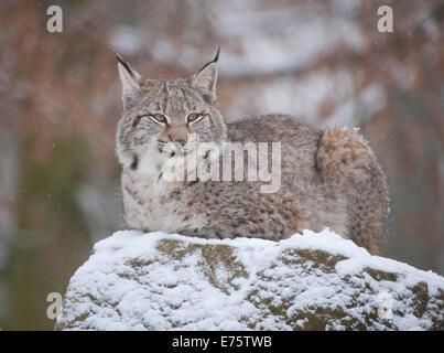 Eurasian Lynx (Lynx lynx), young lynx perched on a rock, captive, Bavaria, Germany - Stock Photo