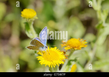 Polyommatus icarus, Male Common Blue butterfly feeding on Fleabane flower, Wales, UK. - Stock Photo