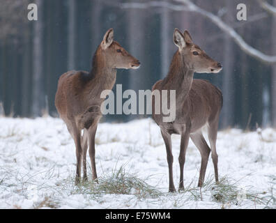 Red Deer (Cervus elaphus), hinds in their winter coats standing in snow, captive, Saxony, Germany - Stock Photo