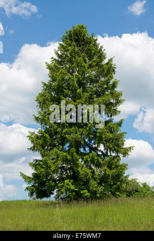 Norway Spruce (Picea abies), Thuringia, Germany - Stock Photo