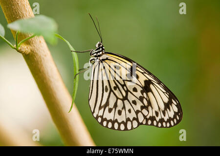 Paper Kite or Large Tree Nymph (Idea leuconoe), captive, Thuringia, Germany - Stock Photo