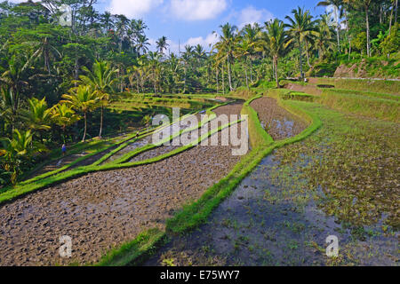 Rice terraces at the Pura Gunung Kawi temple, Bali, Indonesia - Stock Photo