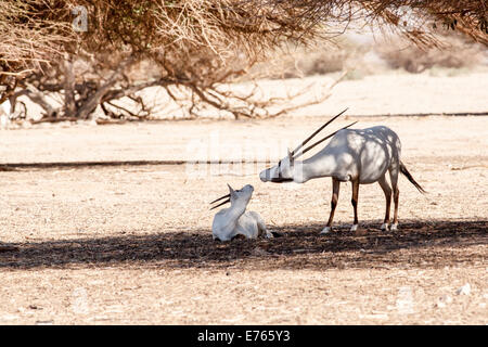 A Arabian Oryx (Oryx leucoryx). The Arabian oryx is a large white antelope, Almost totally extinct in the wild several - Stock Photo