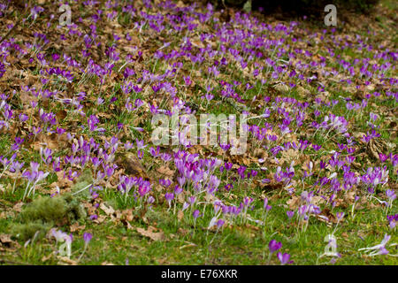 Crocus (Crocus sp.) flowering in a woodland garden. Powys, Wales. February. - Stock Photo