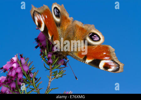 Peacock butterfly (Aglais io) adult feeding on Winter-flowering heather, Erica × darleyensis in a garden. Powys, - Stock Photo