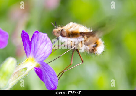 Bee-fly (Bombylius major) adult feeding on an aubretia flower in a garden. Sussex, England. April.
