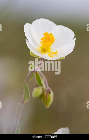 White Rockrose (Helianthemum apenninum) flower. On the Causse de Gramat, Lot region, France. April.