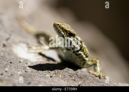 Common Wall Lizard (Podarcis muralis) close-up of the head of an adult male. Ariege Pyrenees, France. May. - Stock Photo