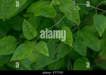 Foliage of Traveller's Joy / Wild Clematis - Clematis vitalba. Parts used in herbal medicine as medicinal plant. - Stock Photo