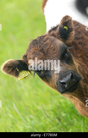 Belted brown Galloway calf. N.E.Scotland - Stock Photo