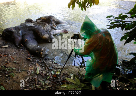Aceh, Indonesia. 7th Sep, 2014. An environmental activist inspects a dead Sumatran elephant allegedly killed by - Stock Photo