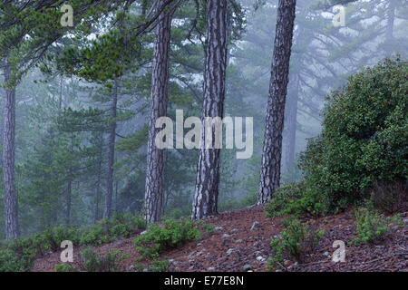 Ancient Black Pines Pinus nigra in Troodhos National Park Cyprus - Stock Photo