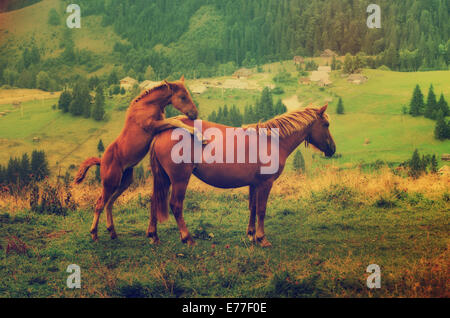 Bay horses playing in the mountains - Stock Photo