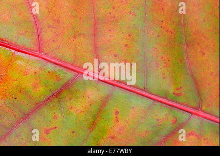 Northern Red Oak (Quercus rubra), detailed view of a leaf in autumn - Stock Photo