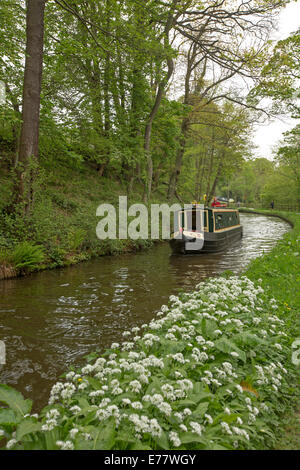 Traditional narrowboat on calm water of Llangollen canal passing woodlands and masses of white wildflowers on bank - Stock Photo