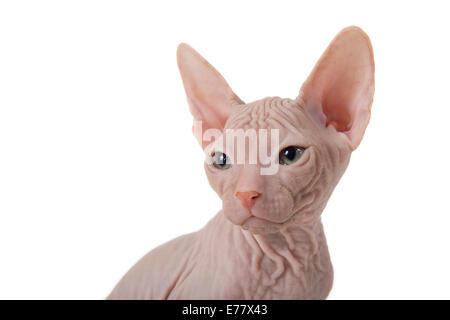 Don Sphynx kitten, 8 weeks, Red - Stock Photo