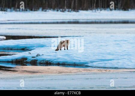 Redfox in winter landscape - Stock Photo