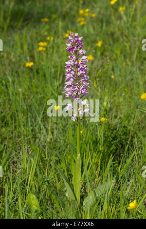 Helmknabenkraut Orchis militaris military orchid - Stock Photo