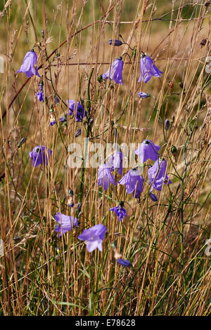 Harebell Flowering In Home Park Hampton Court Palace London England