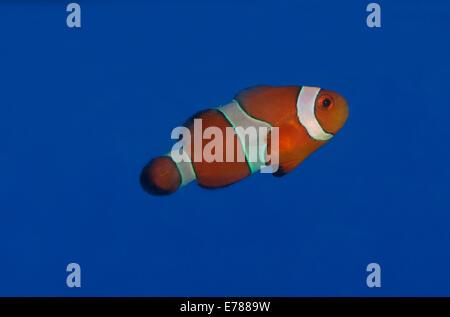 A  Variety Of Clownfish. - Stock Photo