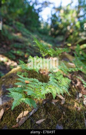 Ferns on a rock in the laurasilva forest near Erjos on Tenerife, Canary Islands, Spain. - Stock Photo