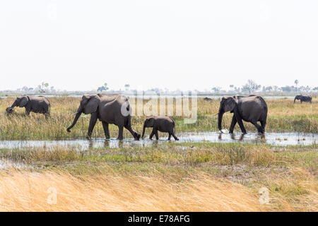 A family of African elephants with a baby walk through a water hole in a swamp in the Okavango Delta, Botswana, - Stock Photo