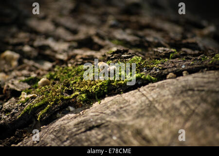 Close up shot of green moss growing on an old wooden log in the forest. - Stock Photo