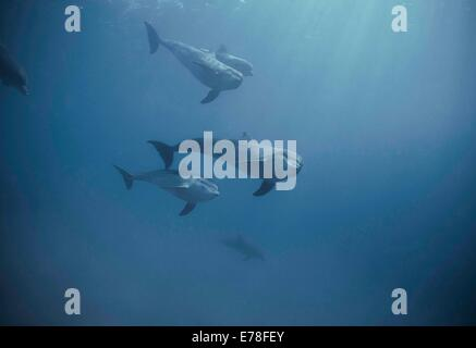 Bottlenose dolphins (Tursiops truncatus). Dolphin reef, Eilat, Israel, Red Sea - Stock Photo