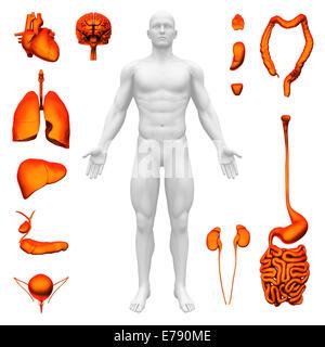 Internal organs - Human anatomy - Stock Photo