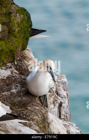 Northern Gannet (Morus bassanus), adult perched on a cliff ledge with nesting material, at Troup Head, Aberdeenshire, - Stock Photo