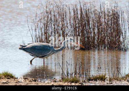 Grey heron (Ardea cinerea) adult, hunting at the edge of a pool at Oare Marshes in Kent. April. - Stock Photo
