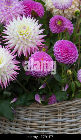 Dahlia flowers in a wicker basket at a flower show. UK - Stock Photo