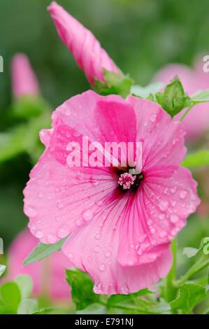 Annual Mallow (Lavatera trimestris, Althaea trimestris), blossom, Germany - Stock Photo