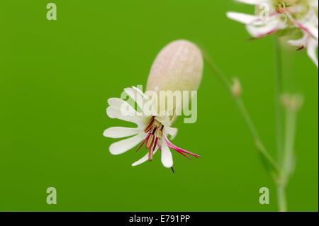 Bladder Campion (Silene vulgaris), blossom, North Rhine-Westphalia, Germany - Stock Photo