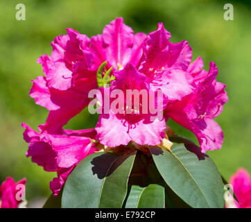 Williams Rhododendron (Rhododendron williamsianum), flowering, Thuringia, Germany - Stock Photo