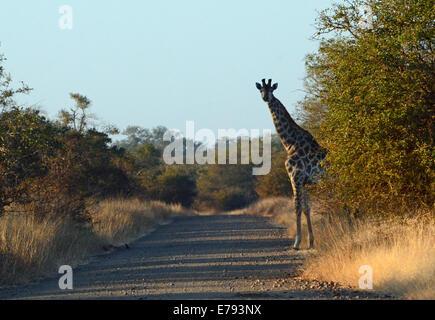 Giraffe on edge of dirt road, silhouetted against blue sky. Early morning shot. Kruger National park, winter scene. - Stock Photo