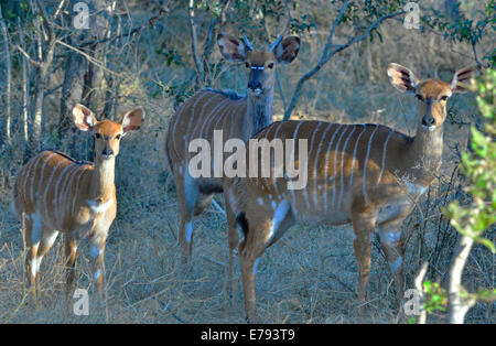 Bushbuck family in riverine bush at sunset. Kruger National Park, South Africa - Stock Photo