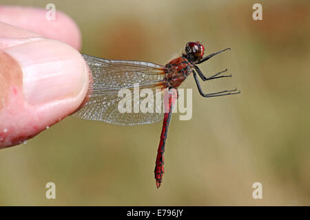 A Male Ruddy Darter Sympetrum sanguineum Being Held By The Wings By A Naturalist - Stock Photo