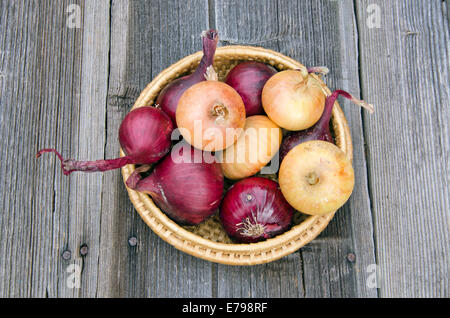 red and gold onion bulbs in wicker plate on old wooden table in garden - Stock Photo