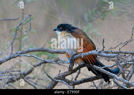 Wet burchell's coucal slumped on a branch in Kruger National Park, South Africa - Stock Photo