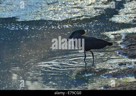 Cape hamerkop or Scopus umbretta fishing for frogs in river, Kruger Park - Stock Photo
