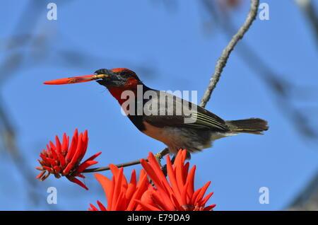 Black collared barbet Lybius torquatus eating flower of erythrina tree. - Stock Photo