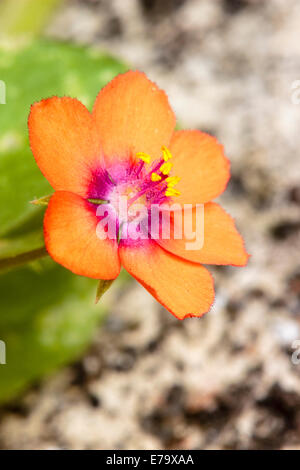Tiny single flower of the UK native Scarlet Pimpernel, Anagallis arvensis - Stock Photo