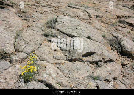 False Goldenasters growing on a rock in New Mexico
