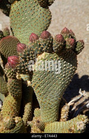 Beavertail Cactus in flower (Opuntia basilaris var. whitneyana), found only in Alabama Hills, near Lone Pine, Inyo - Stock Photo