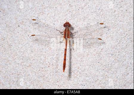 Red eastern hawk dragonfly